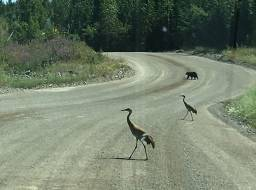 2 Sandhill Cranes and a Black Bear on the mine access road