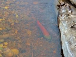 Sockeye salmon spawner in rebuilt Edney Creek, one of 30 observed--Oct 2019