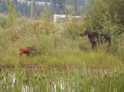 Moose cow and calf in revegetated area on the mine site--Mar 2018