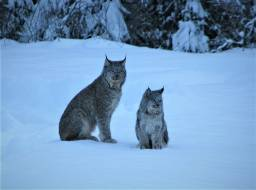 Lynx and kit in Hazeltine Creek valley--Mar 2019