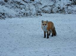 Fox on mine road--Mar 2019
